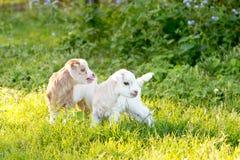 2 белое и cream козы ребенк младенца в травянистом луге Стоковые Изображения RF