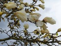 Белое небо ветви дерева цветения магнолии Стоковое фото RF
