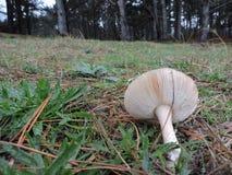 Белое падение гриба в траву стоковые фотографии rf