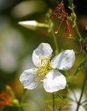 Белое после полудня весны красоты луга Стоковая Фотография