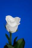 Белое Роза на голубой предпосылке Стоковое Изображение RF