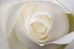 Белое Роза Стоковая Фотография