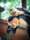 Белое смотреть на поднимающее вверх capuchin и младенца близкое Стоковые Фотографии RF