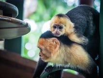 Белое смотреть на поднимающее вверх capuchin и младенца близкое Стоковые Изображения RF