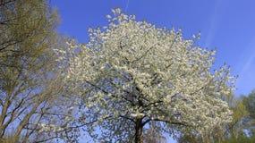 Белое цветене вишни Стоковые Фото
