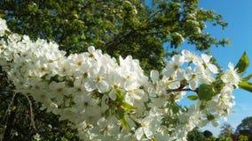 Белое цветение вишни стоковое изображение