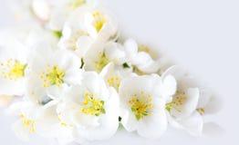 Белое цветение вишни Стоковая Фотография RF