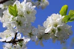 Белое цветение фруктовых дерев дерев против голубого неба Стоковые Изображения RF