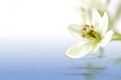 Белое цветение Стоковое Изображение RF
