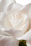 Белое цветение Gardenia изолированное на белизне Стоковое фото RF