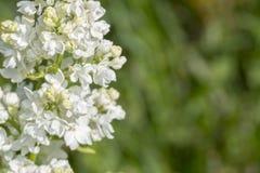Белое цветорасположение сирени изолировало, цветки весны, зацветая сирень стоковое фото