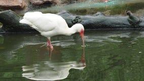 Белое albus Ibis Eudocimus сток-видео