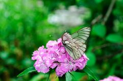 Белое aporia Crataegi бабочки на розовом barbatus гвоздики стоковое изображение