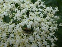 Белое blosso старшего жука кузнца куста цветка стоковые фото
