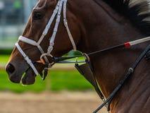 Белое Bridal на лошади Брайна Стоковые Фото