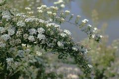 Белое bridal spirea венка стоковое изображение