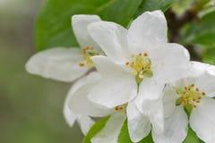 Белое Crabapple Стоковые Фото