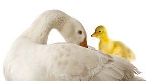 Белое domesticus anser Anser гусыни Стоковое Изображение