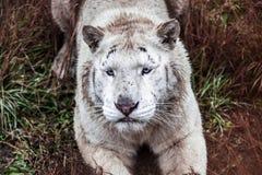 Белое ligr лежит прогулка в aviary зоопарка Ligr Гибрид льва и тигра Большое мужское ligra стоковое изображение rf