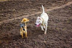 Белое pitbull собаки и коричневая бездомная собака на поле Случайное acqua Стоковое Фото