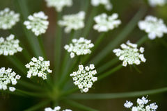 Белое podagraria Aegopodium wildflower Стоковые Фото