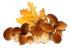 Белое porcini Одичалый фуражированный выбор гриба изолированный на предпосылке, с тенью грибы подосиновика edulis Стоковые Фото