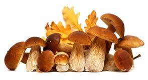 Белое porcini Одичалый фуражированный выбор гриба изолированный на предпосылке, с тенью грибы подосиновика edulis Стоковые Изображения RF