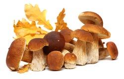 Белое porcini Одичалый фуражированный выбор гриба изолированный на предпосылке, с тенью грибы подосиновика edulis Стоковое Изображение