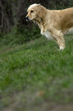 белокурая собака Стоковое Изображение