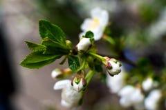 Бело-желтые цветки на дереве тишины совершенно обнаженном, зеленые листья как раз начинали зацвести стоковая фотография rf