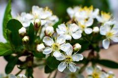Бело-желтые цветки на дереве тишины совершенно обнаженном, зеленые листья как раз начинали зацвести стоковая фотография