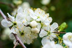Бело-желтые цветки на дереве тишины совершенно обнаженном, зеленые листья как раз начинали зацвести стоковые изображения