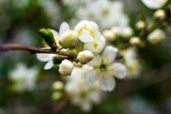 Бело-желтые цветки на дереве тишины совершенно обнаженном, зеленые листья как раз начинали зацвести стоковое фото rf