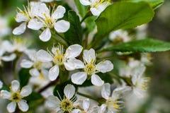 Бело-желтые цветки на дереве тишины совершенно обнаженном, зеленые листья как раз начинали зацвести стоковое изображение