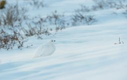 Бело-замкнутая тундреная куропатка смешивая в Snowfield в горах Колорадо скалистых стоковая фотография