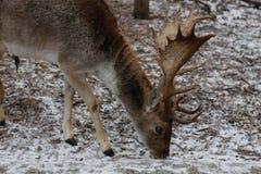 Бело-замкнутое virginianus американского оленя оленей в европейском зоопарке стоковая фотография rf