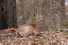 Бело-замкнутые олени в лесе лежа на листьях Стоковое Фото