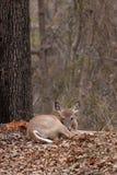 Бело-замкнутые олени в лесе Стоковое Изображение RF