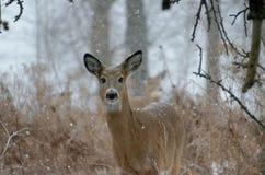 Бело-замкнутые олени - Онтарио, Канада стоковые изображения