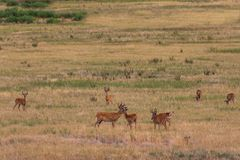 Бело-замкнутые самцы оленя оленей в бархате Стоковая Фотография RF