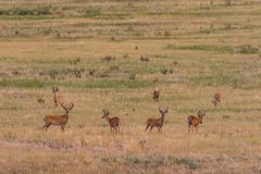 Бело-замкнутые самцы оленя оленей в лете Стоковое Изображение RF