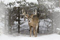 Бело-замкнутый олень buck положение в поле в снеге зимы в Канаде стоковая фотография rf