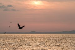 Бело-замкнутый орел в полете, летании орла против розового неба в Хоккаидо, Японии, силуэте орла на восходе солнца, величественно стоковое фото rf