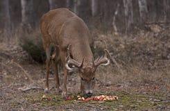 Бело-замкнутый самец оленя в лесе осени есть яблока Стоковое Фото