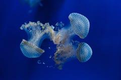 Бело-запятнанное punctata Phyllorhiza медуз стоковые фотографии rf