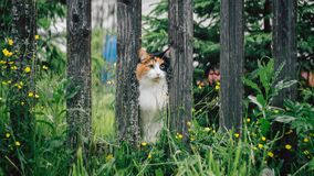 Бело-красный пушистый кот вставил свой намордник между досками в загородке Стоковые Фото