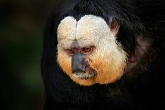 Бело-лицее Saki, pithecia Pithecia, портрет детали обезьяны темной черноты с белой стороной, животным в среду обитания природы в  стоковые изображения