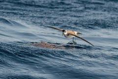 Бело-лицый буревестник шторма или Бело-лицая морская птица буревестника, feedin Стоковое Фото