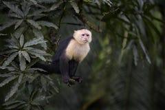 Бело-лицый Capuchin - capucinus Cebus стоковые фото