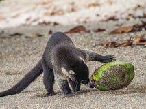 Бело-обнюханный коати выпивая от взглядов залива Drake кокоса вокруг Коста-Рика стоковое фото